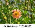 beautiful vibrant orange dahlia ... | Shutterstock . vector #690144325