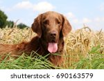 brown flat coated retriever is...   Shutterstock . vector #690163579
