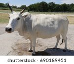 White Cow Standing By The...