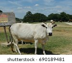 White Cow Standing Bear A...