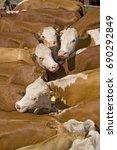 hereford cattle | Shutterstock . vector #690292849