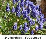 purple hyacinths in the sun | Shutterstock . vector #690318595