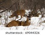 Wild Buck Deer In The Snow
