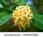 anan  tembusu flower  fagraea... | Shutterstock . vector #690493381