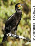 great cormorant on a branch | Shutterstock . vector #69056176