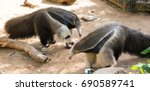 two anteater at the zoo | Shutterstock . vector #690589741