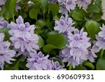 background  aquatic hyacinth... | Shutterstock . vector #690609931