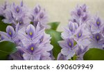 background  aquatic hyacinth... | Shutterstock . vector #690609949