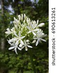 Small photo of single white African lily, Agapanthus africanus in full bloom