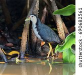 Small photo of The white-breasted waterhen (Amaurornis phoenicurus) is a waterbird of the rail and crake family, Rallidae, that is widely distributed across Southeast Asia and the Indian Subcontinent.