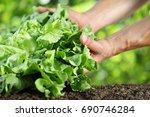 hands picking lettuce  plant in ... | Shutterstock . vector #690746284