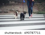 Stock photo dog walker crossing a street with dogs 690787711