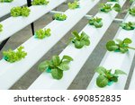 fresh hydroponic vegetables are ...   Shutterstock . vector #690852835