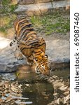 Sumatran Tiger Drinking Water