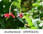 quisqualis indica  or ... | Shutterstock . vector #690906241