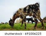 Small photo of Kutchi Goat (Capra aegagrus hircus)