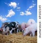 Young pigs on hay with a blue sky backgroung - stock photo