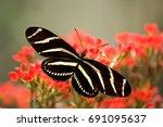 The Zebra Longwing Butterfly Is ...