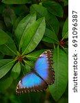 Blue Butterfly  Morpho Peleides ...