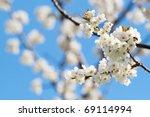 Spring Blooming Sakura Cherry...