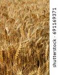 fields of wheat  cereal field...   Shutterstock . vector #691169371