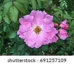 pink flower   Shutterstock . vector #691257109