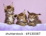 Stock photo maine coon kittens playing on purple cushion 69130387