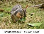wallaby having a graze | Shutterstock . vector #691344235