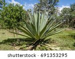 Blue Agave  Agave Tequilana ...