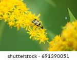 Cucumber Beetle On A Yellow...