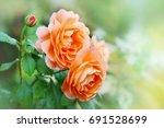 Stock photo flower of orange rose in the summer garden english rose lady emma hamilton of david austin 691528699