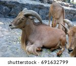 Small photo of Barbary sheep (Ammotragus lervia), also known as aoudad, waddan, arui, and arruis in captivity.