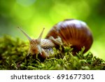 Stock photo helix pomatia also roman snail burgundy snail edible snail or escargot is a species of large 691677301