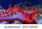 Crimson Knobbed Starfish In...