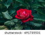 Red Rose With Bright Green...