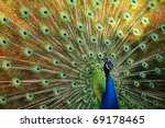 Thai Peacock Spread The Tail...