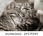 Stock photo two tabby kittens cuddled up together 69179293