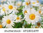 chamomile against the sky. a... | Shutterstock . vector #691801699