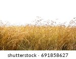 tall red oat grass isolated on... | Shutterstock . vector #691858627