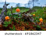 Ripe Cloudberry Grows On A...