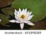 Morning Closeup Of White Lotus...