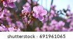 rhododendron ledebourii.... | Shutterstock . vector #691961065