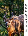 Small photo of Male Nyala grazing in the wild