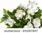 white gardenia blooming white... | Shutterstock . vector #692007847