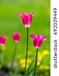 spring landscape  tulips in a... | Shutterstock . vector #692039449