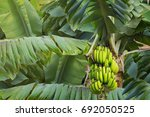 banana tree with a bunch of...   Shutterstock . vector #692050525