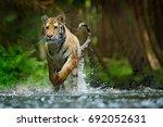 amur tiger running in the river.... | Shutterstock . vector #692052631