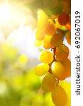 Small photo of vineyard background; summer Grape fruit