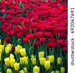 colorful tulip flower fields... | Shutterstock . vector #692067691