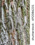 Small photo of the bark of a large tree as a background/the bark of a large tree closeup